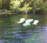 manatee for website